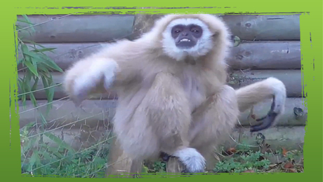 Bange gibbon