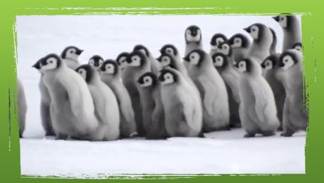 Baby pinguïns