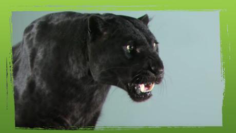 Zwarte panter en kat