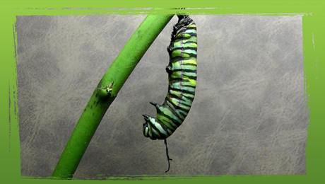 Ontpoppende vlinder
