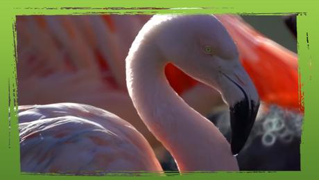 Flamingo's bij het Nakuru meer