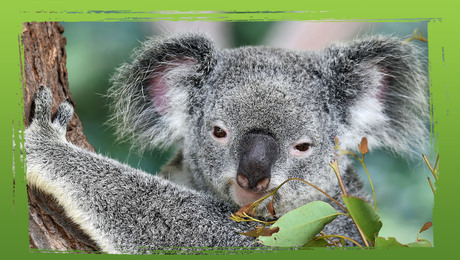 Bedreigde diersoorten: de koala