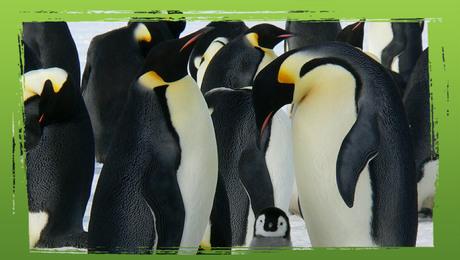 Wereldrecord: langste duik van een pinguïn