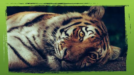 Bedreigde diersoorten: de tijger
