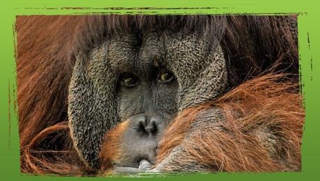 Bedreigde diersoorten: de mensapen