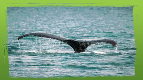 Bedreigde diersoorten: de walvis