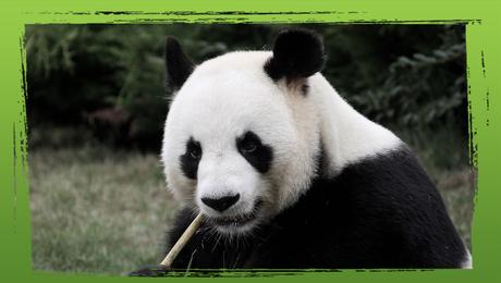 Bedreigde diersoorten: de reuzenpanda